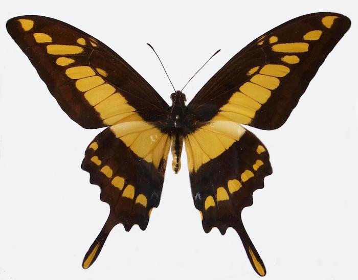Papilio_cresphontes_praep