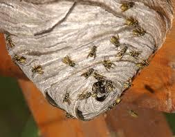 hornet next