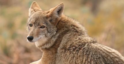 Coyote-Wildlife
