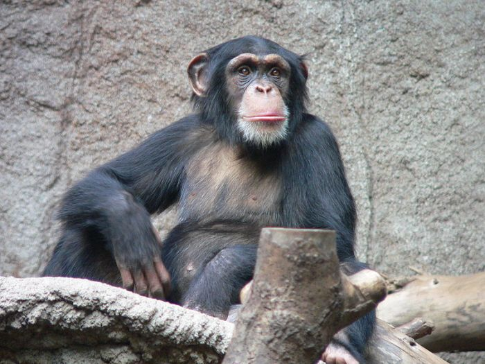 chimpanzee-zoo