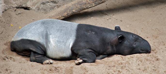 malayan_tapir_tapirus_indicus_at_bronx_zoo_cropped