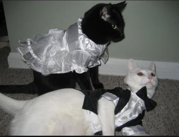 Cats in formal wear 2018-10-09